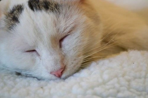 A white kitty cat is sleeping on a white blanket.