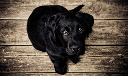 black-hared puppy sitting on a wood-paneled floor