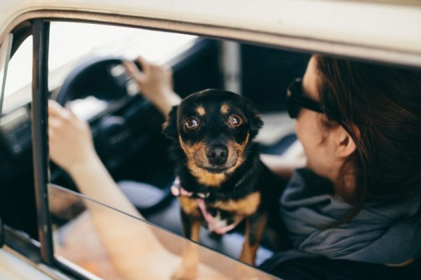 black and brown dog looking out of a moving car window while sitting on its owner's lap