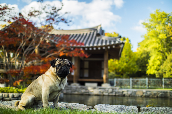 bulldog sitting in the grass in front of a buddhist temple