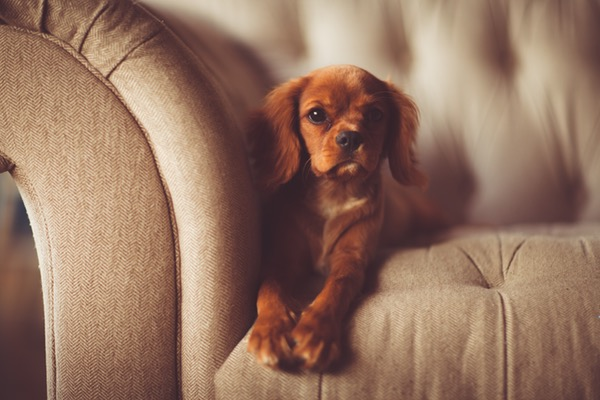 cute brown dog lying on a white fabric sofa