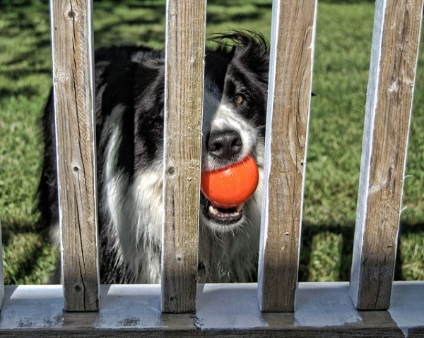 black and white border collie with an orange ball in its mouth standing behind a wooden gate