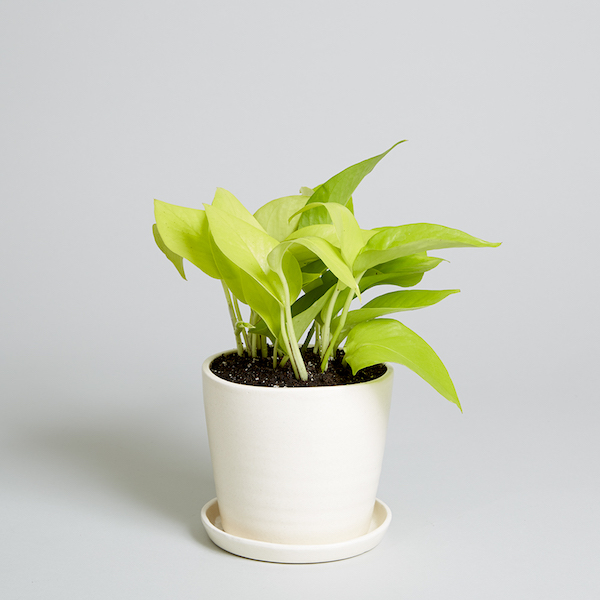 a neon pothos in a white planter pot