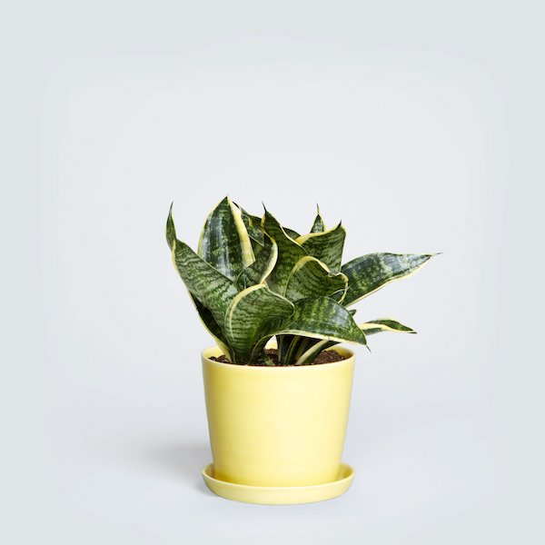 a yellow snakeplant sits in a yellow planter pot