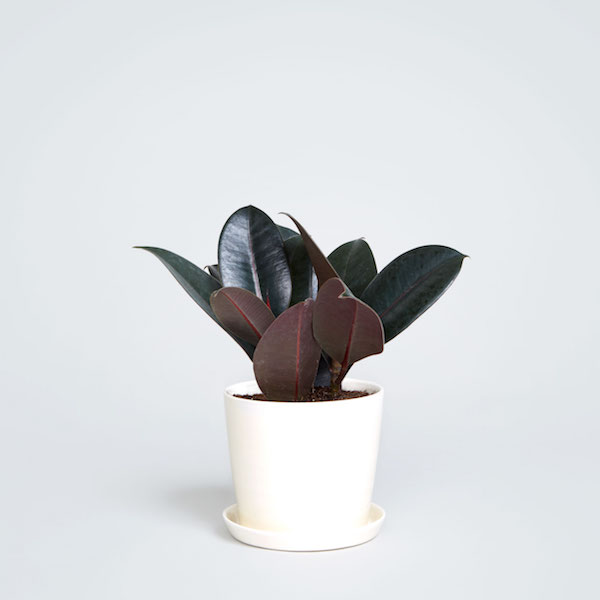 a green rubber tree sits in a white planter pot