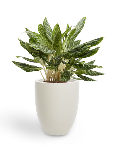 a leafy aglaeonema plant stands in a tall white planter pot