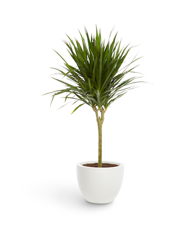 a tall dracaena stands in a white planter pot