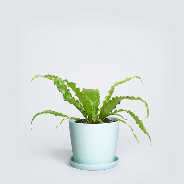 a droopy fern sits in a blue planter pot
