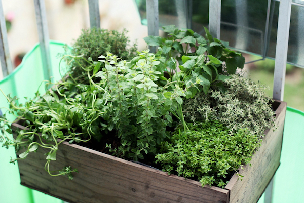 growing herbs on an outdoor balcony