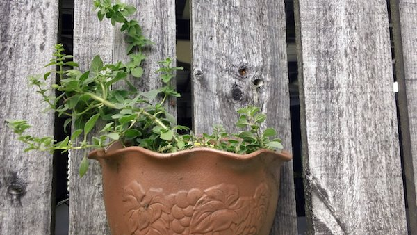 growing oregano in your home garden