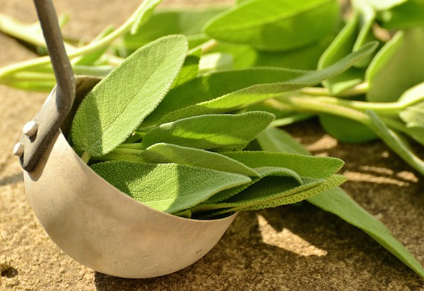 gathering home grown sage for cooking