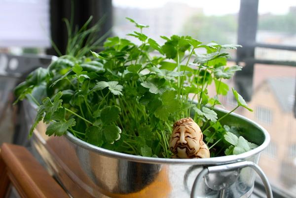 cilantro grown in a bucket indoors