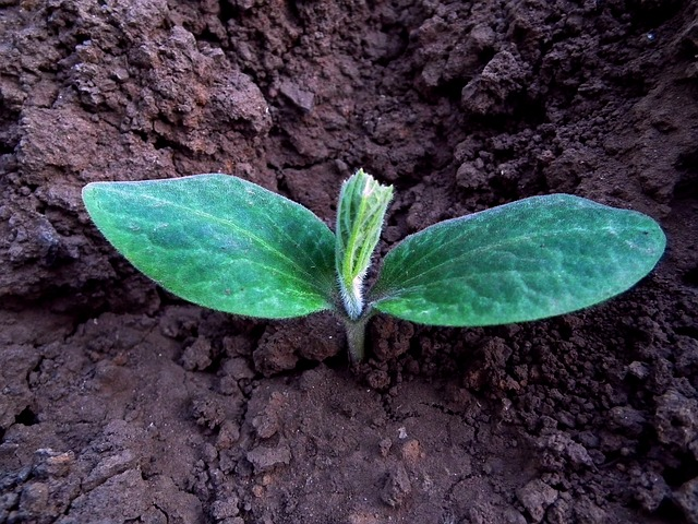 a seedling sprouting out of soil