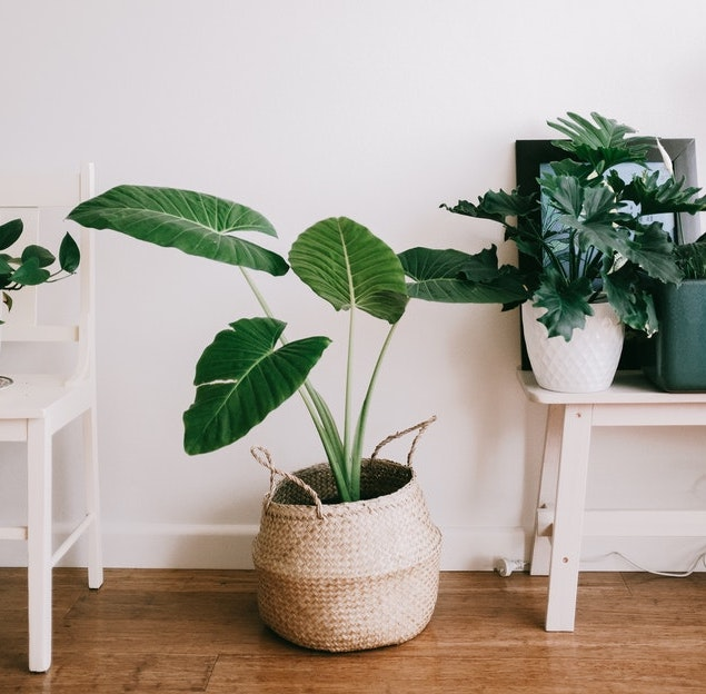 Three green house plants on a wooden floor