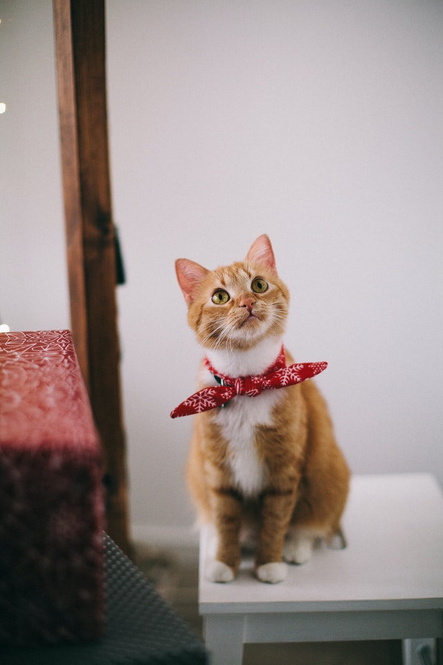 An orange tabby cat with a red bandanna looks up with curiosity